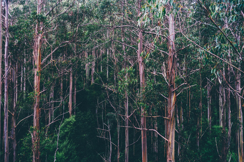Australie, foret tropicale
