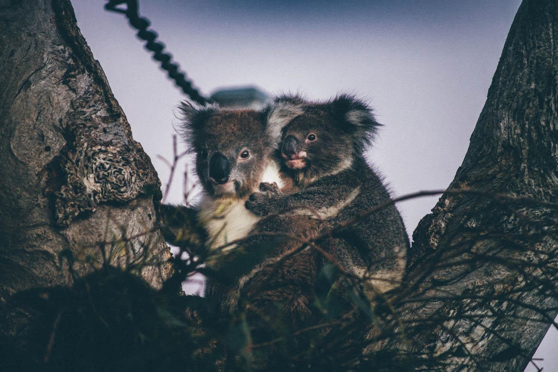 Koala mignon australien