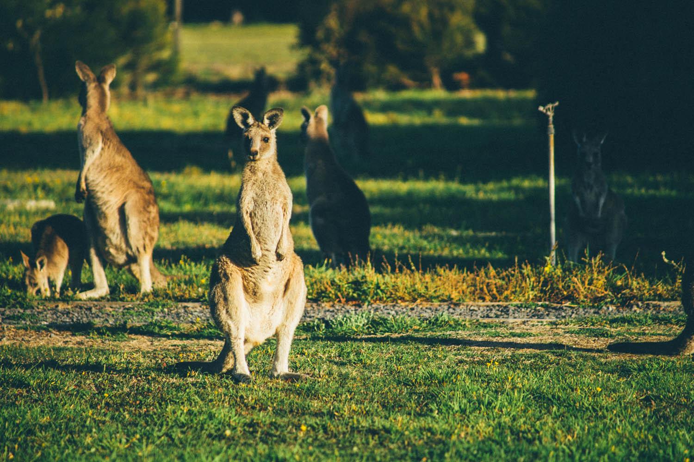 australie-koala-85