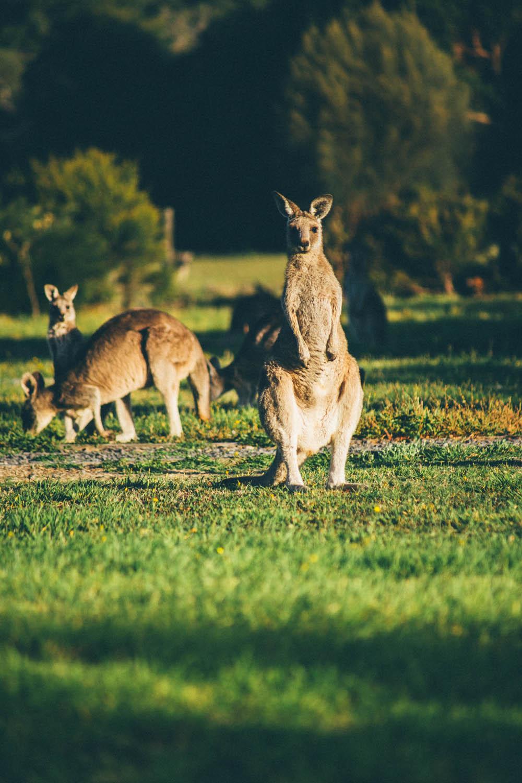 australie-koala-86