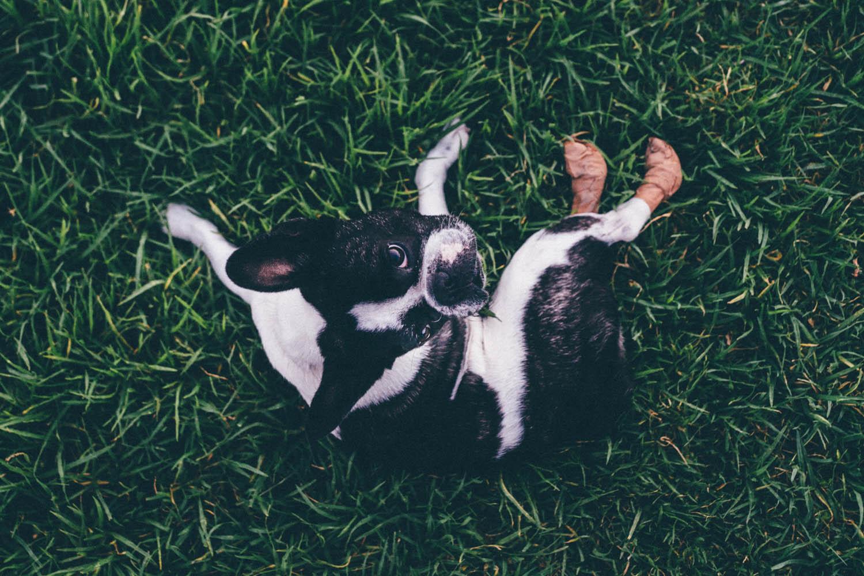 valencia-bulldog-frances